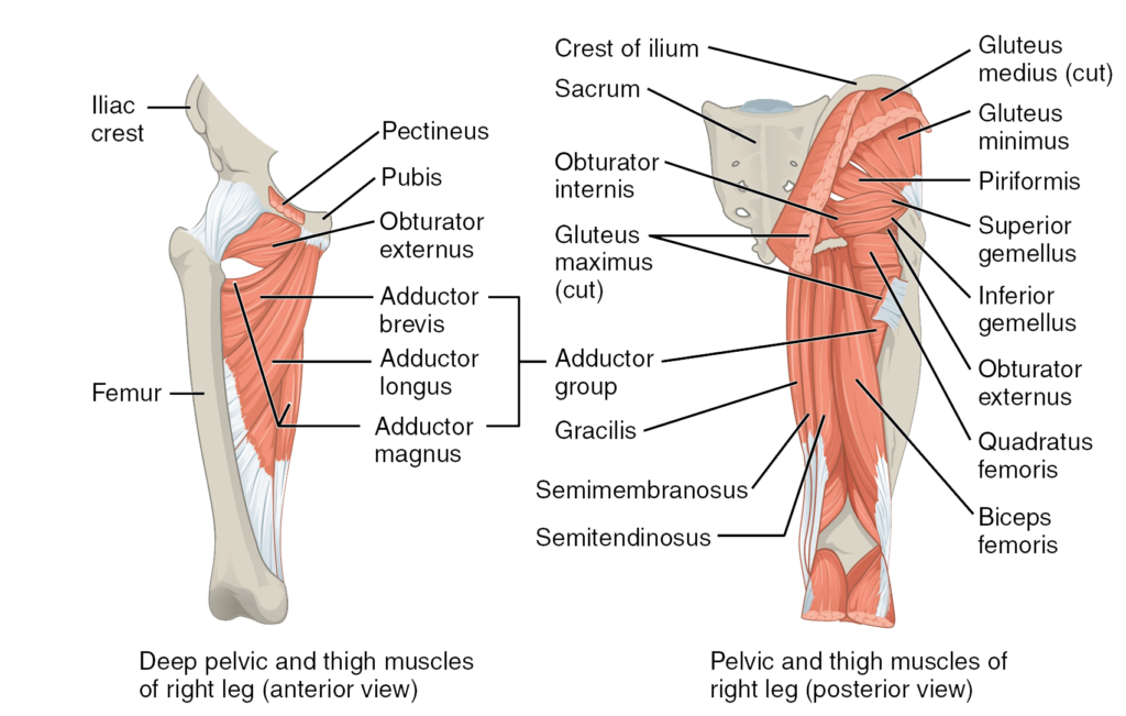 Thigh-posterior-muscles-1024x651